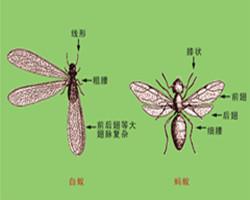 白蚁与蚂蚁有什么区别